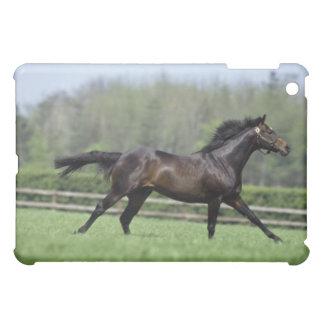 Pura sangre del caballo, Wassl 1988,
