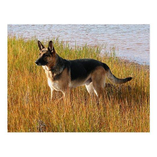 Pure Bred German Shepherd Photo on Postcard