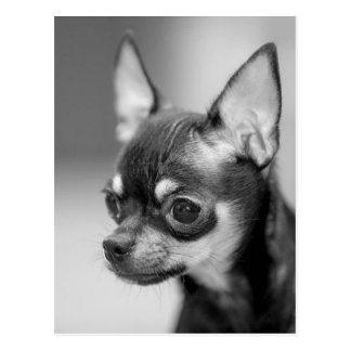 Purebred Chiwawa Puppy Postcard