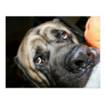Purebred English Mastiff Photo Postcard