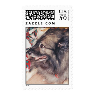 Purebred Keeshond Postage Stamps