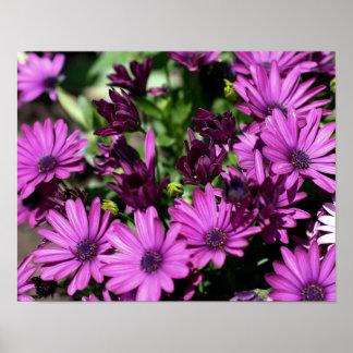 Purple African Daisies Flower Poster