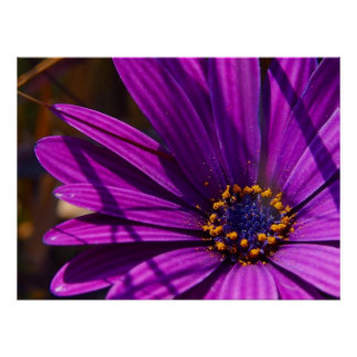 Purple African Daisy Close Up Poster