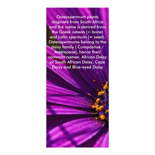 Purple African Daisy Close Up Rack Card