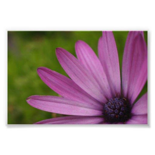 Purple african daisy photograph print nature art