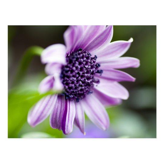 Purple African Daisy Postcard