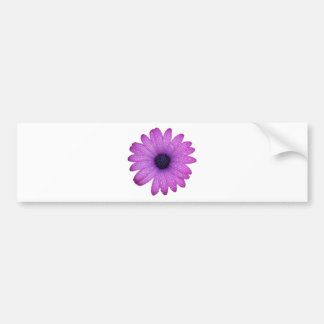 Purple African Daisy with Raindrops Isolated Bumper Sticker
