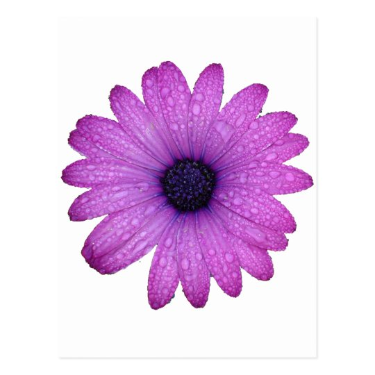 Purple African Daisy with Raindrops Isolated Postcard