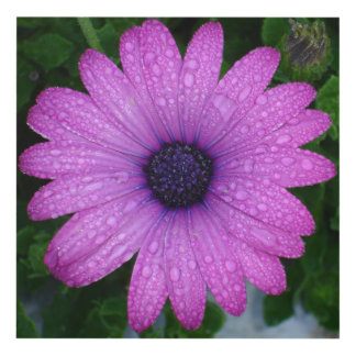 Purple African Daisy with Raindrops Panel Wall Art