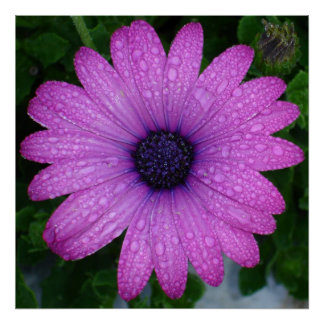 Purple African Daisy with Raindrops Poster