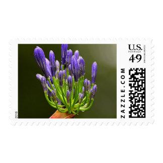 Purple Agapanthus Postage