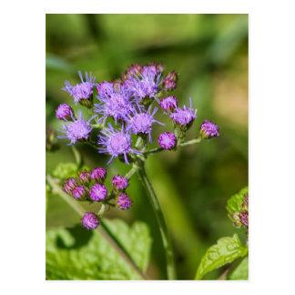 Purple Ageratum Wildflowers Postcard