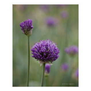 Purple Alliums With Natural Diffused Background Poster at Zazzle