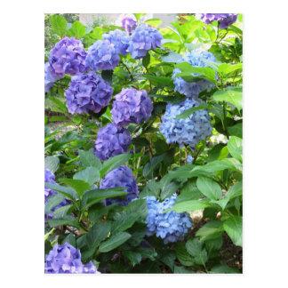 Purple and blue Hydrangea flowers Postcard
