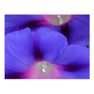 Purple and Pink Colored Morning Glory Flowers Clos Postcard