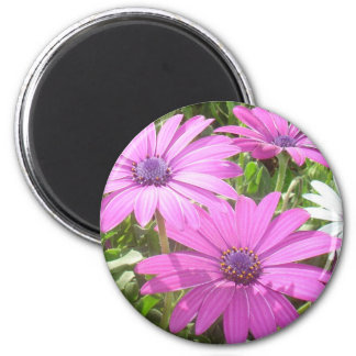 Purple And Pink Tropical Daisy Flower Refrigerator Magnet