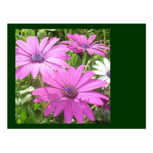 Purple And Pink Tropical Daisy Flower Post Card