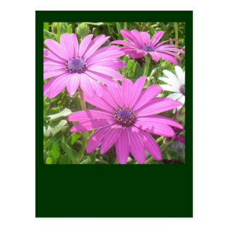 Purple And Pink Tropical Daisy Flower Postcard