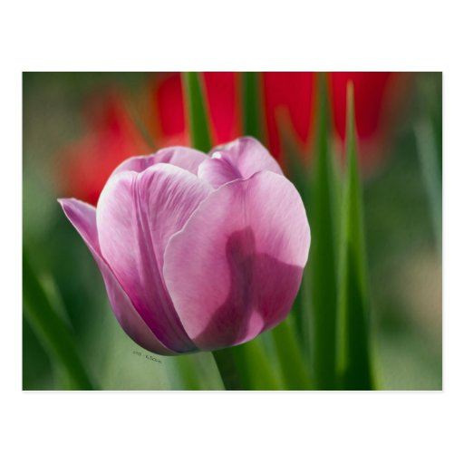 Purple and Pink Tulip in Spring Postcard
