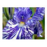 Purple and White Bearded Iris Post Card