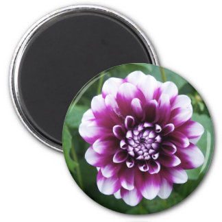 Purple and White Dahlia 2 Inch Round Magnet