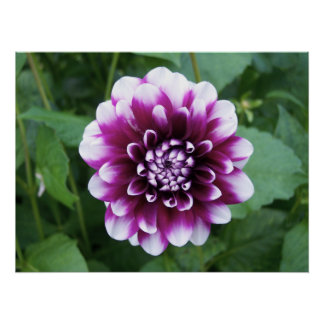 Purple and White Dahlia Poster