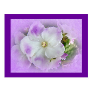 Purple and White Fancy African Violets Postcard