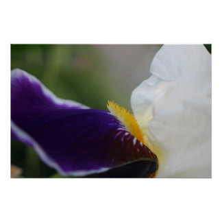 Purple and white iris flower blossom up close poster