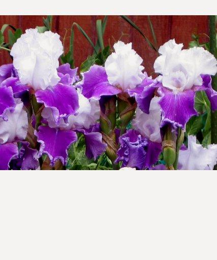 Purple and White Irises T-shirts