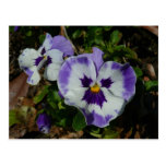 Purple and White Pansies Colorful Floral Postcard