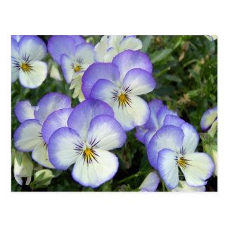 Purple and White Pansies Postcard