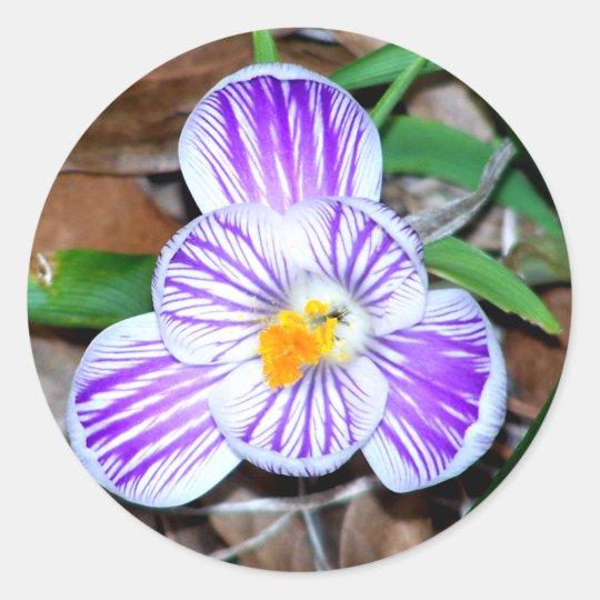 Purple and White Striped Crocus Classic Round Sticker