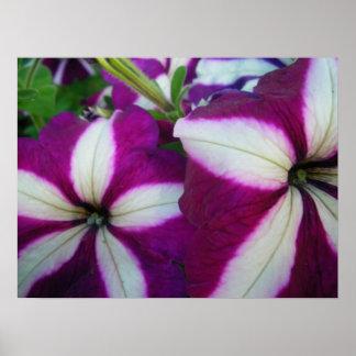 Purple and White Striped Petunias Poster