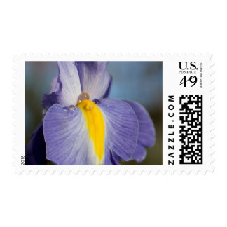 Purple and Yellow Iris with Dewdrops Postage Stamp