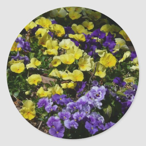 Purple and Yellow Pansies Sticker