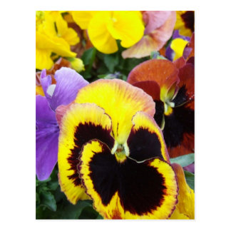 Purple and Yellow Pansy Flowers Postcards