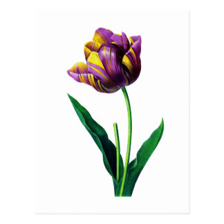 Purple and Yellow Tulip by Redoute Postcard