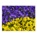 Purple and Yellow Violas Colorful Floral Postcard