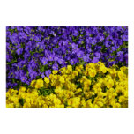 Purple and Yellow Violas Colorful Floral Poster