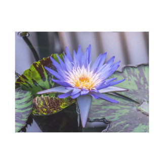 Purple and yellow waterlily canvas print
