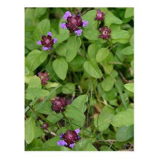 Purple Archangel Wildflower Postcards