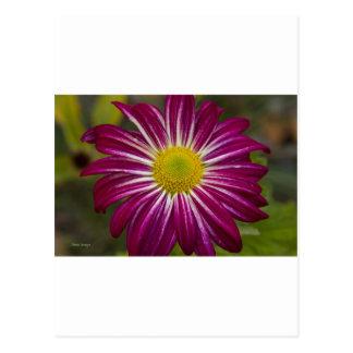 Purple Aster Flower Power Postcard