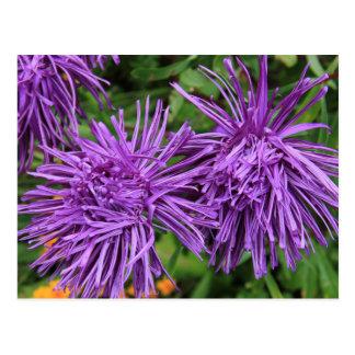 Purple Aster Flowers Postcard