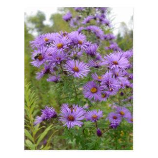 Purple Asters Postcard