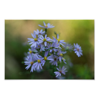 Purple Autumn Asters Floral Wildflower Poster