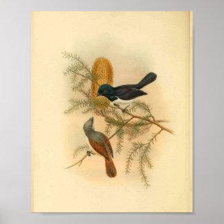 Purple Backed Flycatcher Bird Vintage Print