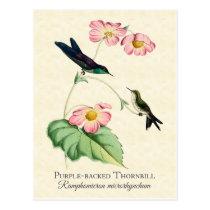 Purple Backed Thornbill Hummingbird Art Postcard