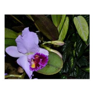 Purple Bearded Iris Postcard