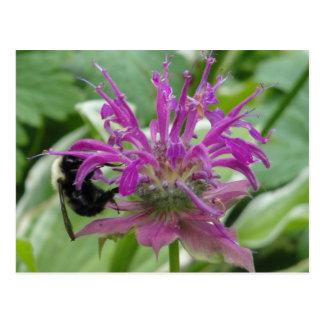 purple bee balm postcard