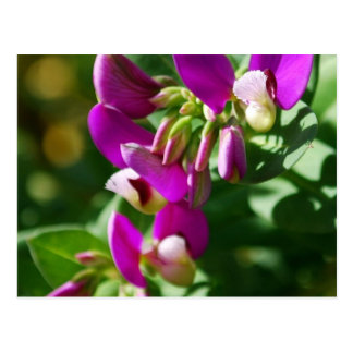 Purple Blooms Postcard